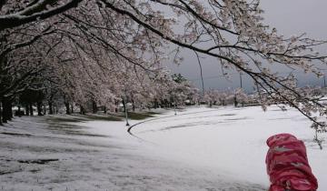 Цветущие сакуры в снегу: впервые за 17 лет в Японии в апреле снегопад