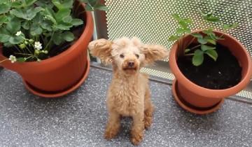 6 самых крохотных пород собак в мире