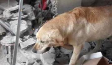 Лабрадор спасал людей после землетрясения, не щадя себя
