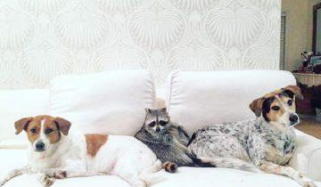 Троица друзей — енот и две собаки — стала звездной в Инстаграм