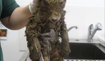 Когда строители нашли грязный комок шерсти, подумали, что это собака