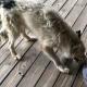 Семья бежала от урагана, а собаку бросили на произвол судьбы