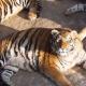Китайских тигров раскормили, как на убой. Зоозащитники бьют тревогу