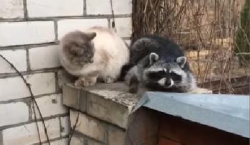 Енот пытается подружиться с котом