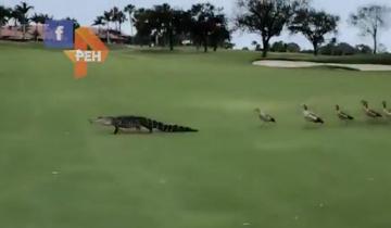 Разъяренные гуси прогнали крокодила через все поле для гольфа