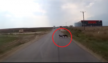За секунду до неотвратимого пес спас свою подругу