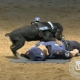 Звездой интернета стал пес, который пытается сделать полицейскому массаж сердца