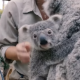 Сотрудники зоопарка в Сан-Диего выложили в сеть видео прогулки детеныша коалы