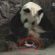 В Китае показали новорожденных деток больших панд