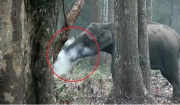 Ученые были ошарашены, увидев в национальном парке… курящую слониху
