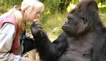 В Калифорнии попрощались с гориллой Коко: она одной из первых освоила язык жестов