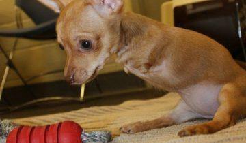 История о щенке, рождённом без передних лап
