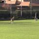 В Австралии в футбол играют даже кенгуру