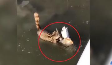 «Мое! Не дам!» Бесстрашный енот готов сражаться за рыбу…