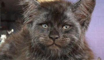 Русский «демонический» котенок со взглядом Люцифера напугал западную аудиторию