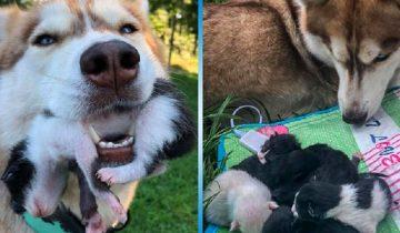 Хаски стала звездой Интернета. Она спасла новорожденных котят и стала им мамой!