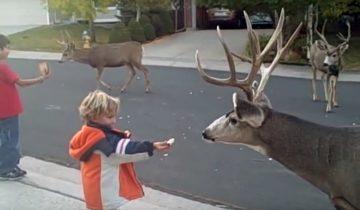 Мальчики кормят оленей хлебом прямо возле своего дома