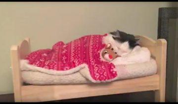 Кошечка Софи ложится спать в свою маленькую «человеческую» кроватку