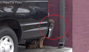 Бездомная немецкая овчарка несколько дней пряталась за машиной