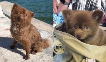 Заводчик шпицев сначала хотел избавиться от «некондиции», а теперь этот щенок — кумир соцсетей