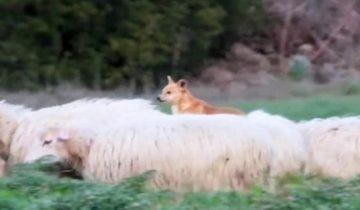 """Люди сняли собаку-пастуха за """"работой""""! Теперь весь Интернет смеется с этого работника…"""