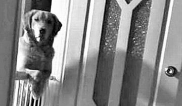 Новые хозяева приемного пса не могли понять, почему он жертвует сном, но не спускает с них глаз по ночам