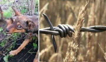 В пригороде на садовом участке собака неделю висела на проволоке, и никто ей не помог!