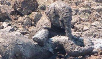 Слониха начала тонуть. Ей на помощь бросился слоненок и тоже застрял! Они не могли спастись
