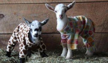 48 козлят «жгут» на пижамной вечеринке!