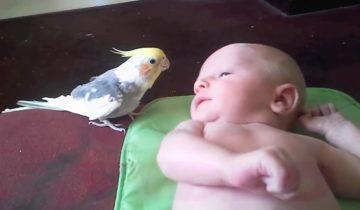 Попугайчик поет колыбельную для новорожденного малыша!