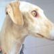 Собака со сломанной лапой шла 3 км, чтобы привести людей к своим щенкам