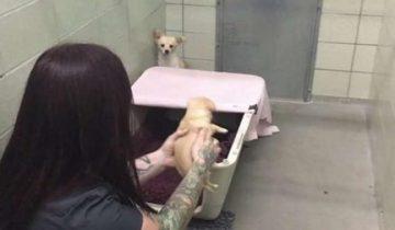 Реакция собаки на встречу со своими щенками, которых отдали в приют!