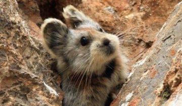 Невероятно редкий и такой же милый зверь горного Китая попал на видео
