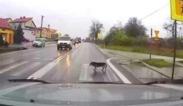 Собака показала идеальный пример, как безопасно перейти дорогу