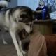 Глупый щенок застрял в хозяйском свитере и опытная хаски пришла к нему на помощь!