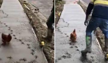 Курица-диверсант изящно троллит дорожных рабочих