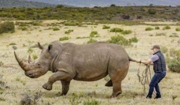 «Стой, зверюга!». За забавными кадрами скрывается важнейшая операция по спасению носорогов