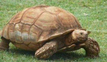 Огромная черепаха осталась одна и разгромила весь дом!