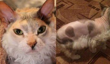 Местами лысый пушистый монстр: история уникальной кошки Симоны