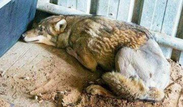 Волк попал под машину, а теперь умирал на обочине. Но все проходили мимо…