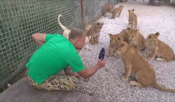 Волшебный тапочек Зубкова: почему взрослые львы так боятся своего хозяина?