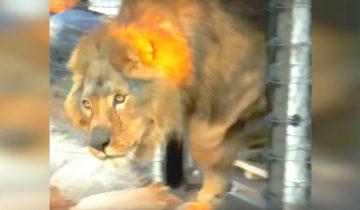 Этот лев всю жизнь провел в тесной клетке с бетонным полом. Только взгляните как он удивлен, увидев траву…