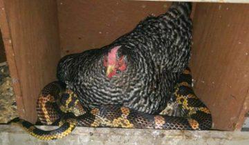 Мужчина увидел в курятнике невероятную картину: курица пригрела под своим крылом змею