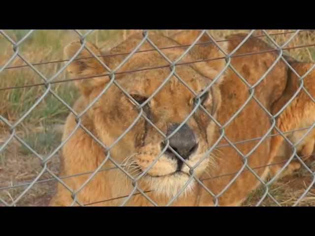 Этот лев всю жизнь провел в тесной клетке с бетонным полом. Только взгляните как он удивлен, увидев траву...