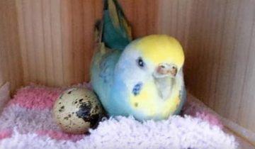 Девушка купила перепелиное яйцо в магазине и положила его в клетку к своему попугаю. Вот что вышло!