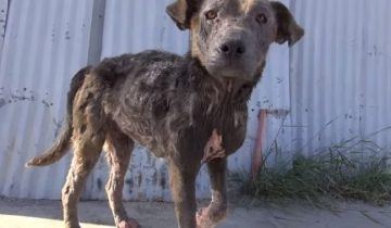 Истощенная, уже одичавшая собака, отчаянно требовала помощи!
