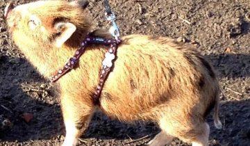 Парень купил мини-пига, но свинка выросла просто огромной
