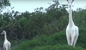 Невероятно, но белые жирафы существуют!