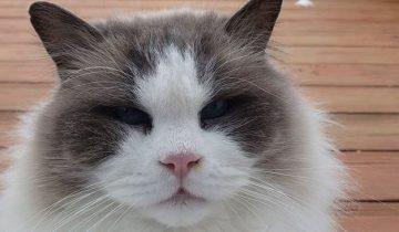 Хозяева переехали, а красавца-кота выбросили на улицу. Там он страдал от холода и заболел
