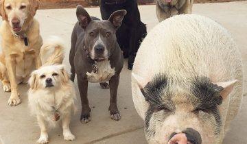 История свинки, которая выросла с пятью собаками